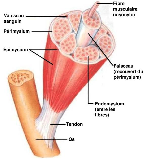 Anatomie macroscopique du muscle squelettique